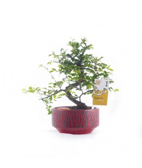 Bonsai interior 25 cm