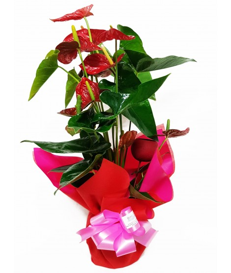 Anthurium decorado 70 cm
